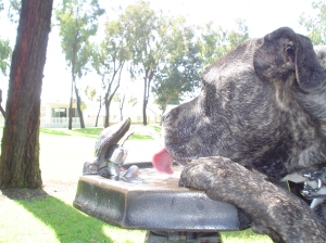 Smokey grabs some water from a fountain at San Remo park in Laguna Terrace.